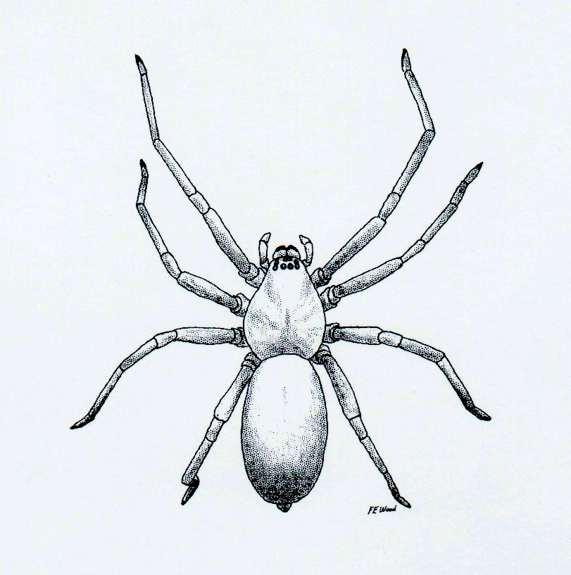 This is a graphic of Geeky Drawing Of Spiders