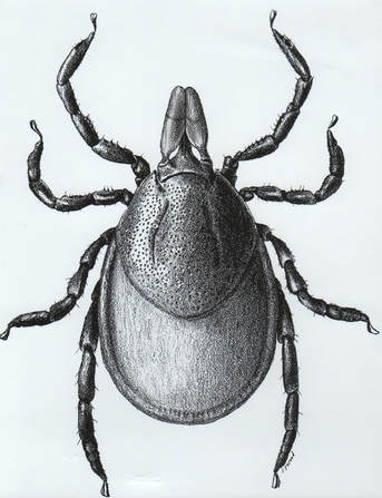 Female Black Legged Tick