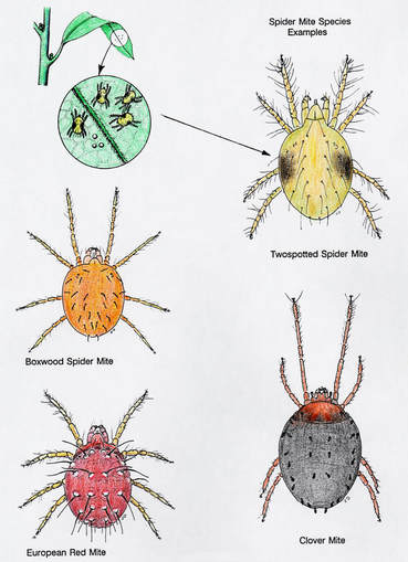 Four Spider Mite Species