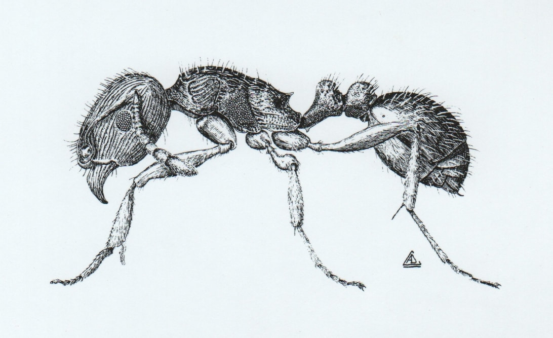 Pavement Ant