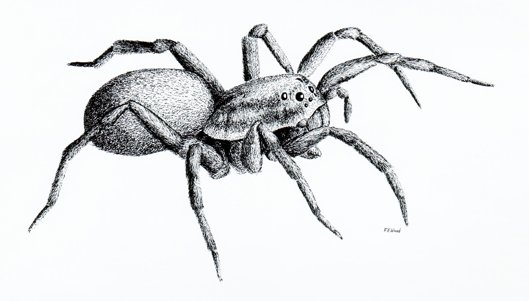 This is a graphic of Current Drawing Of Spiders
